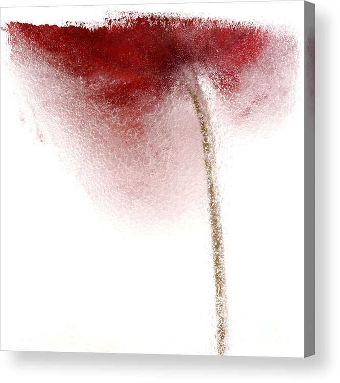Background White Acrylic Print featuring the photograph Close-up Of Droplets Of Water On A Tulip by Bernard Jaubert