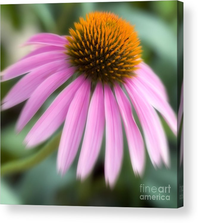 Purple Acrylic Print featuring the photograph Dreamy Coneflower by Jeannie Burleson