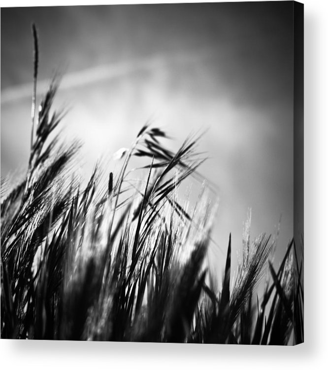Spikes Acrylic Print featuring the photograph Espigas by Felix M Cobos