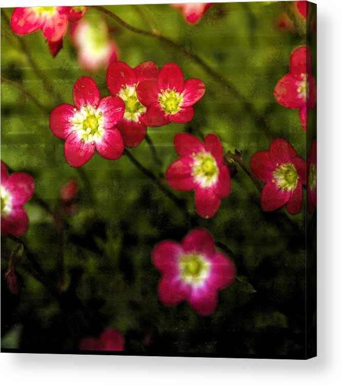 Saxifraga Acrylic Print featuring the mixed media Exclamation by Bonnie Bruno