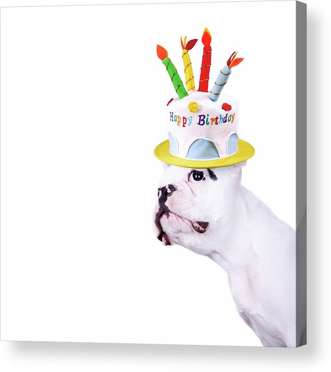 Square Acrylic Print featuring the photograph French Bulldog With Birthday Cake by Maika 777