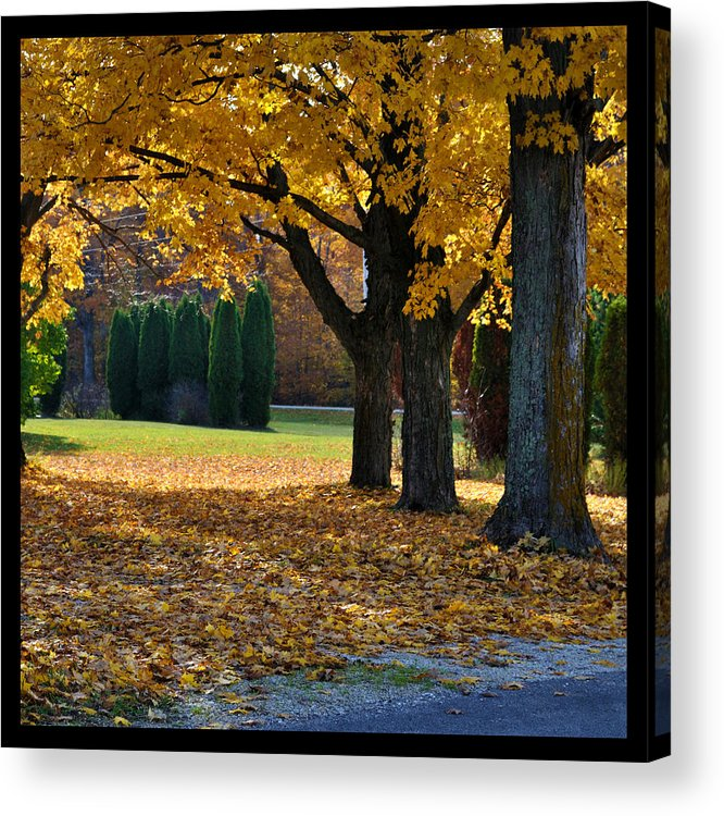 Trees Acrylic Print featuring the photograph Maple And Arborvitae by Tim Nyberg