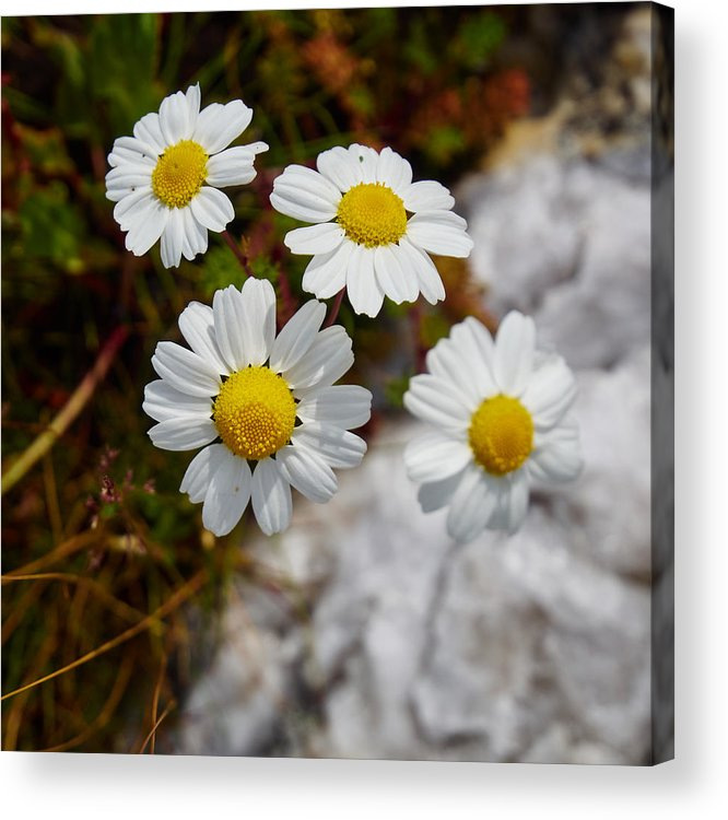 Jouko Lehto Acrylic Print featuring the photograph Sea Mayweed by Jouko Lehto