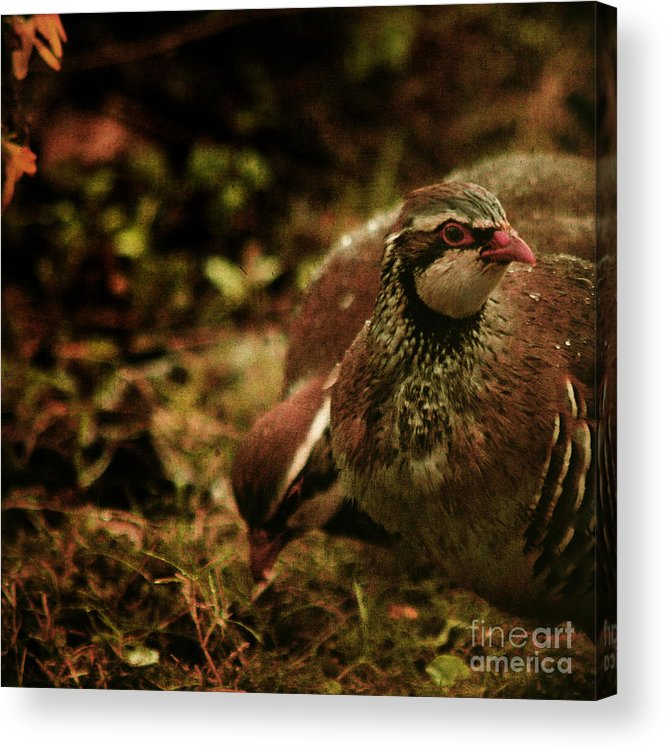 Partridge Acrylic Print featuring the photograph The Redlegged Partridges by Angel Ciesniarska