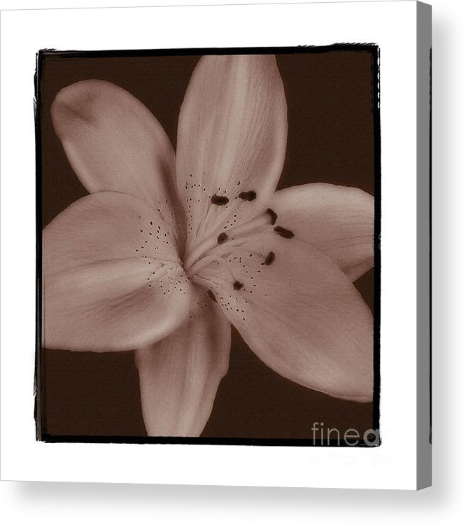 Lily Acrylic Print featuring the photograph Tiger Lily 8 by K Randall Wilcox