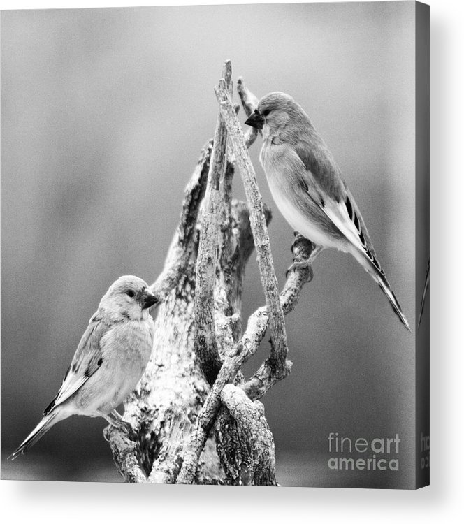 Birds Acrylic Print featuring the photograph Two Little Birds by Angel Ciesniarska