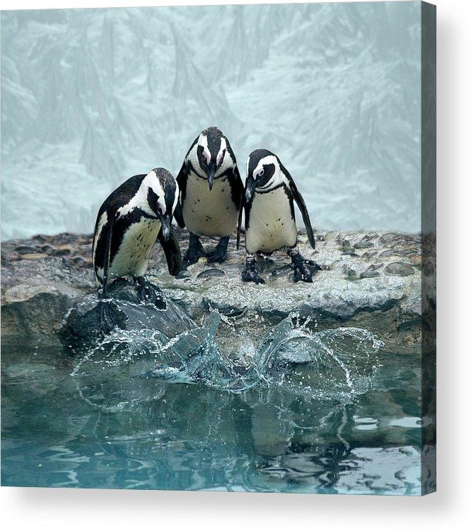 Animal Themes Acrylic Print featuring the photograph Penguins by Fotografias De Rodolfo Velasco