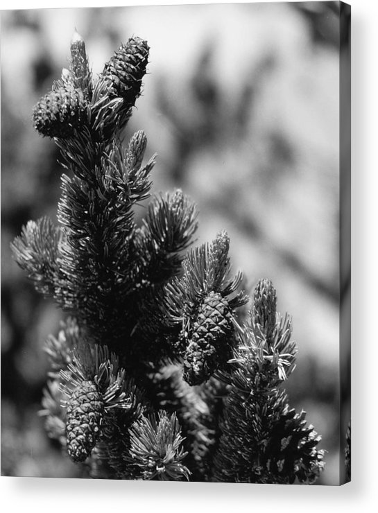 Nature Acrylic Print featuring the photograph Conifer by Allan McConnell
