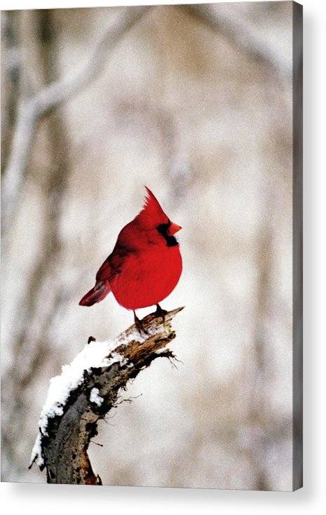 Cardinal Acrylic Print featuring the photograph 080806-26 by Mike Davis