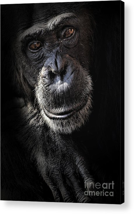 Chimp Acrylic Print featuring the photograph Portrait Of A Chimpanzee by Sheila Smart Fine Art Photography