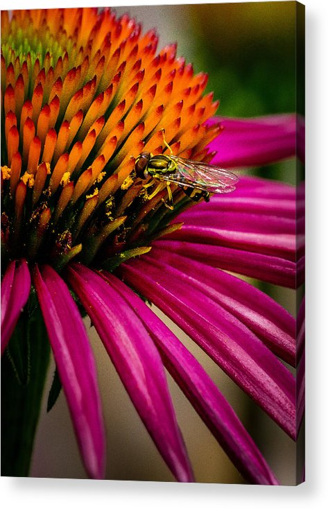 Macro Acrylic Print featuring the photograph Echinacea And Syphrid by S A Littau