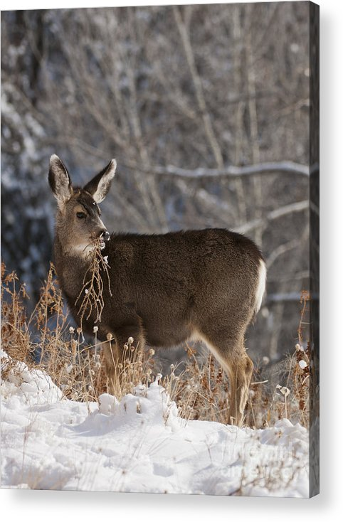 Fawn Acrylic Print featuring the photograph Fawn Eating by Andi Poland