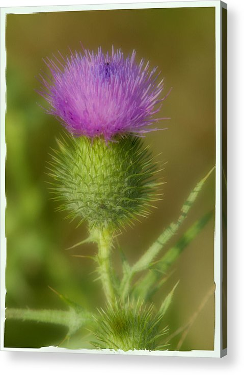 Thistle Acrylic Print featuring the photograph Soft Thistle by Cindy Lindow