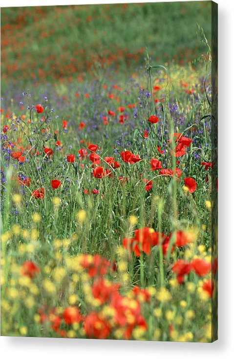 Flowers Acrylic Print featuring the photograph Tuscan Wildflowers by Michael Hudson