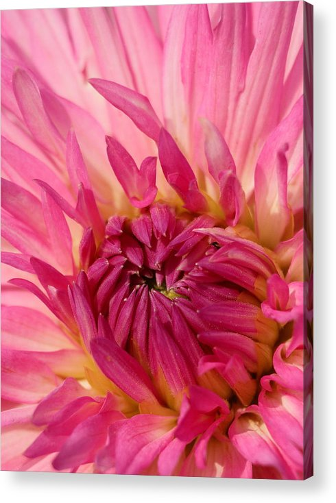 Flower Acrylic Print featuring the photograph Dahlia 2am-104251 by Andrew McInnes