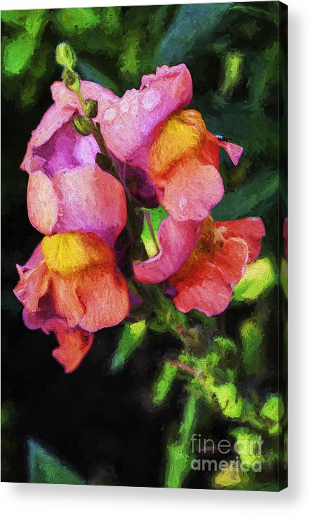 Snapdragon Acrylic Print featuring the photograph Snapdragon by Sheila Smart Fine Art Photography