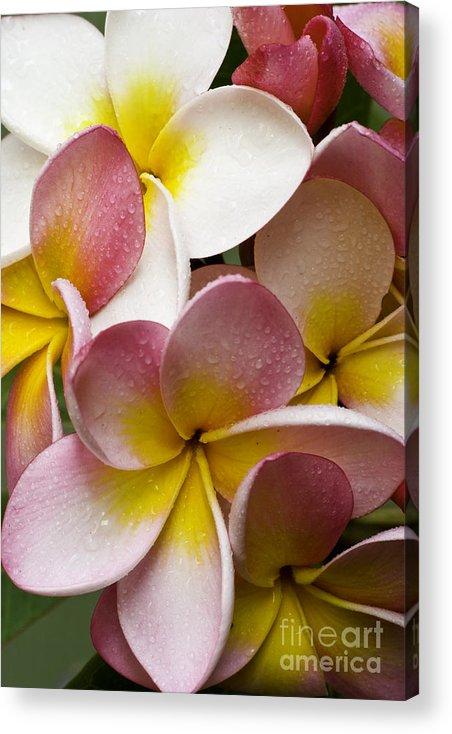 Pink Frangipani Acrylic Print featuring the photograph Pink frangipani by Sheila Smart Fine Art Photography
