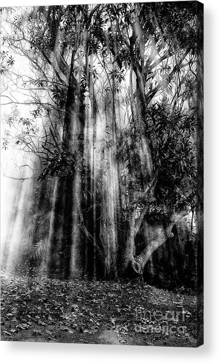 Fall Acrylic Print featuring the photograph Light beams through tree in monochrome by Sheila Smart Fine Art Photography