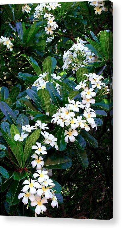 Plumeria Acrylic Print featuring the photograph Hawaiian Plumeria by James Temple