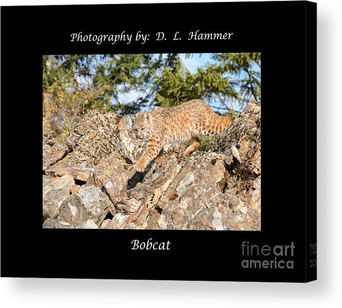 Wildlife Acrylic Print featuring the photograph Bobcat by Dennis Hammer