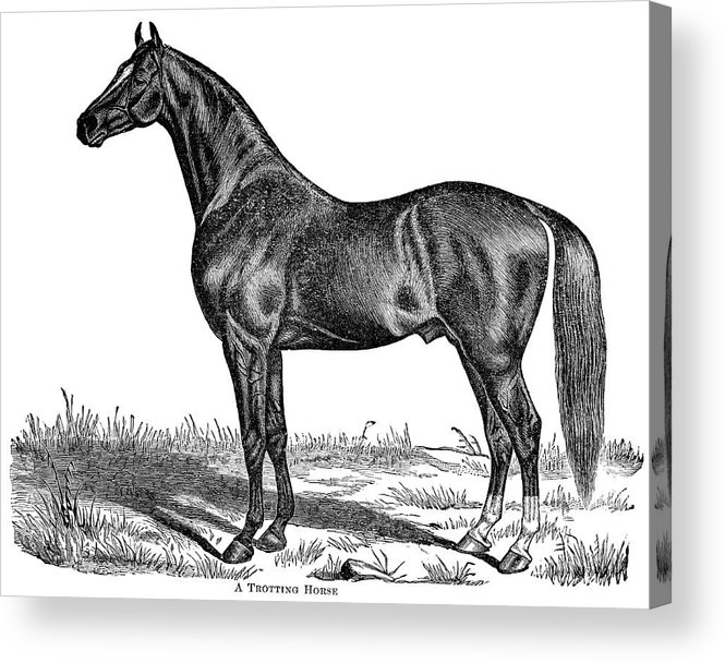 Horse Acrylic Print featuring the digital art Trotting Horse Engraving by Nnehring
