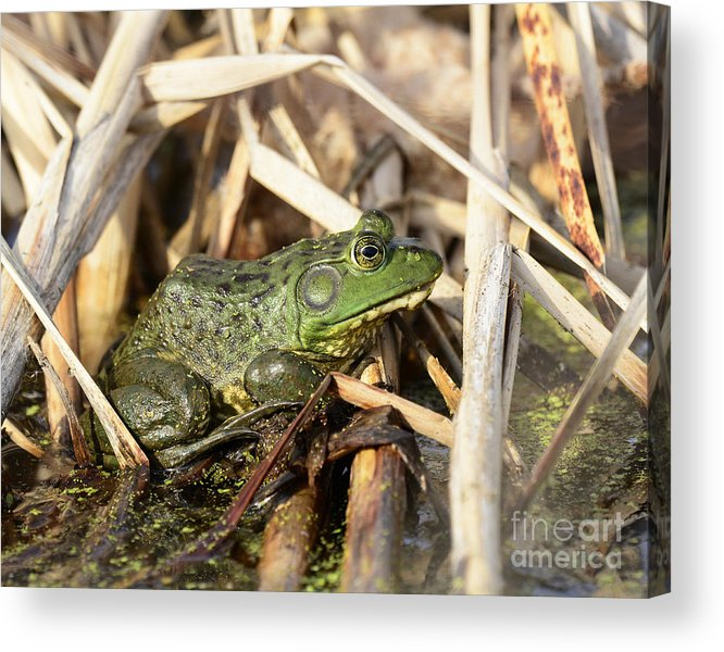 Amphibian Acrylic Print featuring the photograph Utah Green Toad by Dennis Hammer