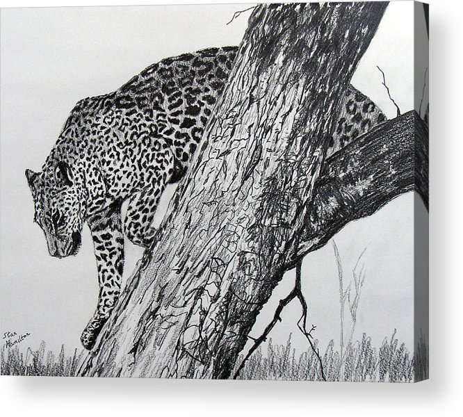 Jaquar Acrylic Print featuring the drawing Jaquar in Tree by Stan Hamilton