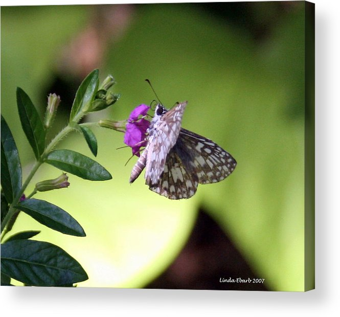 Insect Acrylic Print featuring the photograph Butterfly on Heather by Linda Ebarb