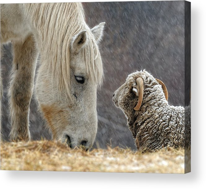 Horse Acrylic Print featuring the photograph Clouseau and Friend by Don Schroder