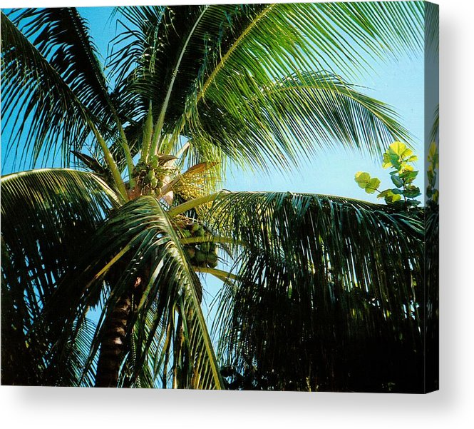 Jamaica Acrylic Print featuring the photograph Coconut Tree by Debbie Levene