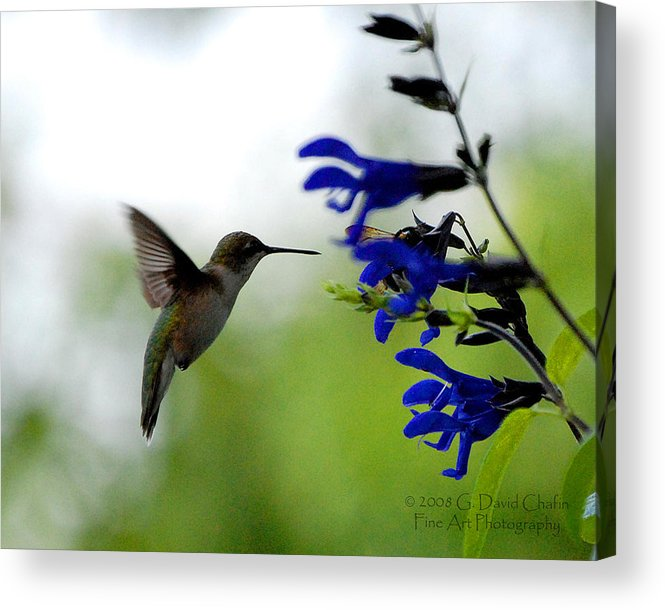 Animal Acrylic Print featuring the photograph Hummingbird and Blue Flowers by Dave Chafin