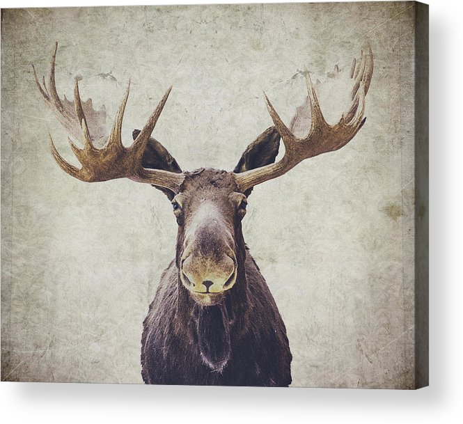 Moose Acrylic Print featuring the photograph Moose by Nastasia Cook
