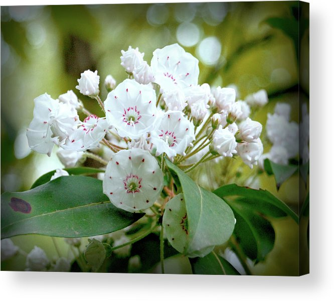 Cumberland Acrylic Print featuring the photograph Mountain Laurel by Dave Chafin