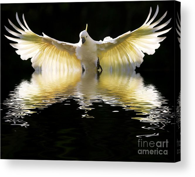 Bird In Flight Acrylic Print featuring the photograph Sulphur crested cockatoo rising by Sheila Smart Fine Art Photography