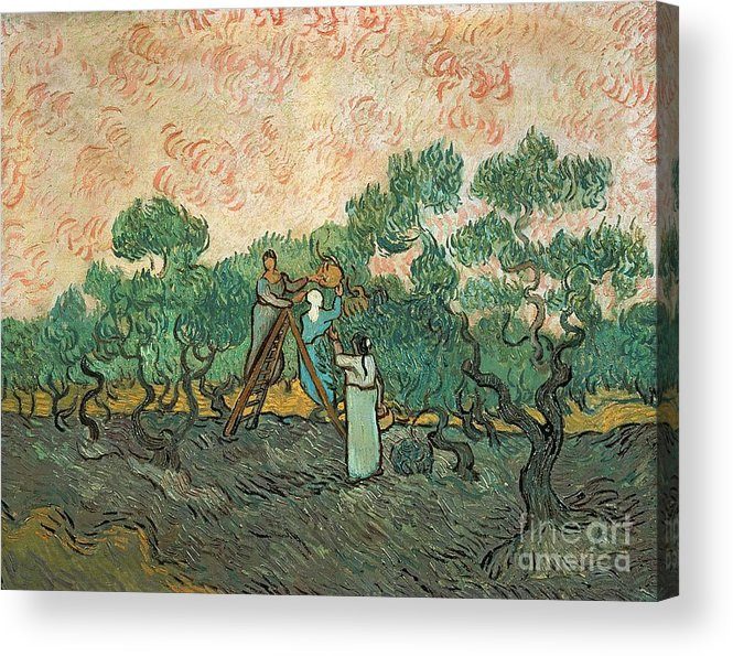 The Acrylic Print featuring the painting The Olive Pickers by Vincent van Gogh