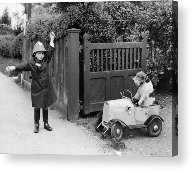 Pets Acrylic Print featuring the photograph Doggy Driver by Fox Photos