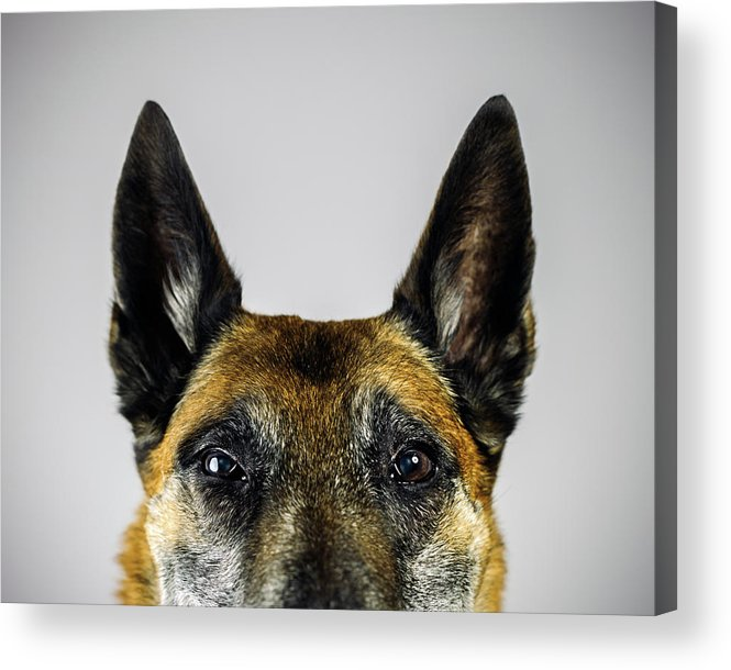 Pets Acrylic Print featuring the photograph Belgian Sheperd Malinois Dog Looking At by Joan Vicent Cantó Roig