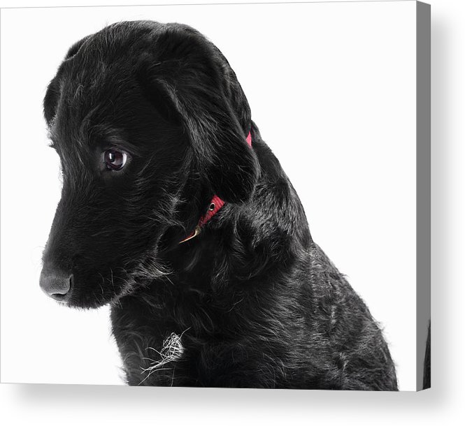 Pets Acrylic Print featuring the photograph Black Labradoodle by Gandee Vasan