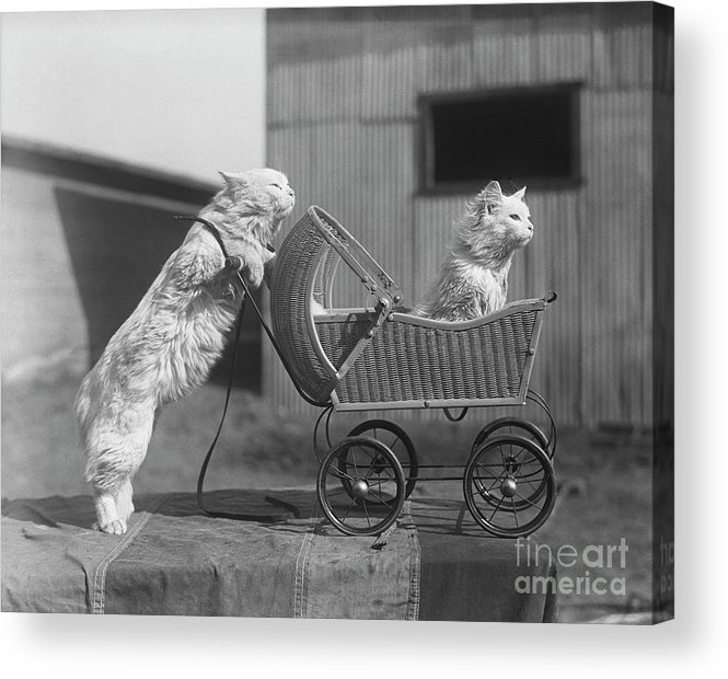 Baby Carriage Acrylic Print featuring the photograph Cat Pushing Cat In Baby Carriage by Bettmann