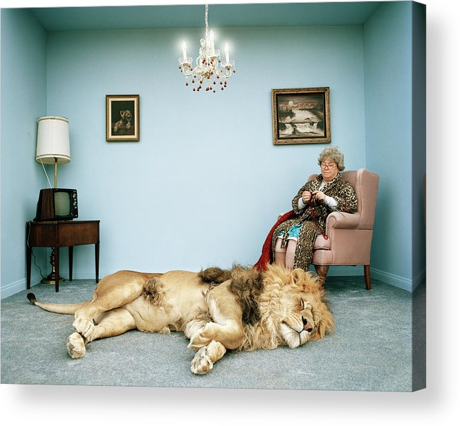 Pets Acrylic Print featuring the photograph Lion Lying On Rug, Mature Woman Knitting by Matthias Clamer