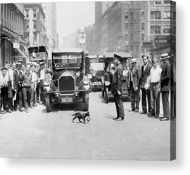 Kitten Acrylic Print featuring the photograph Mother Cat Blackie Halts Traffic As She by New York Daily News Archive
