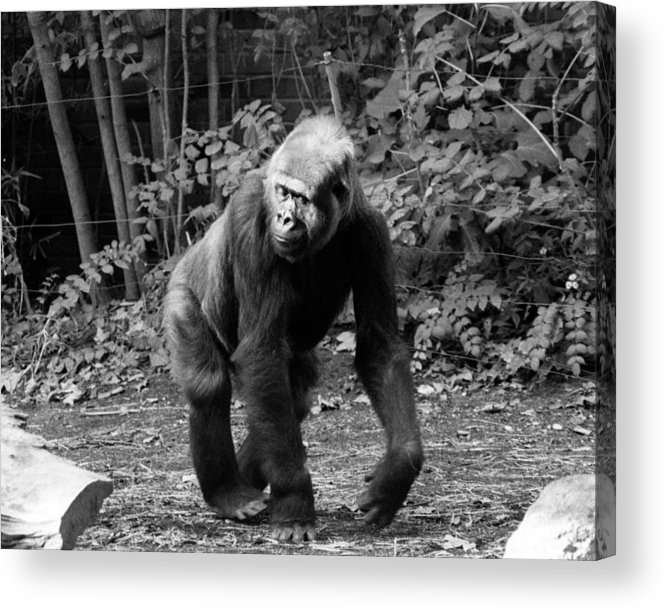 One Animal Acrylic Print featuring the photograph Pattycake, The Gorilla by New York Daily News
