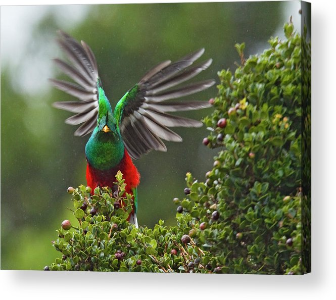 Animal Themes Acrylic Print featuring the photograph Quetzal Taking Flight by Photograph Taken By Nicholas James Mccollum