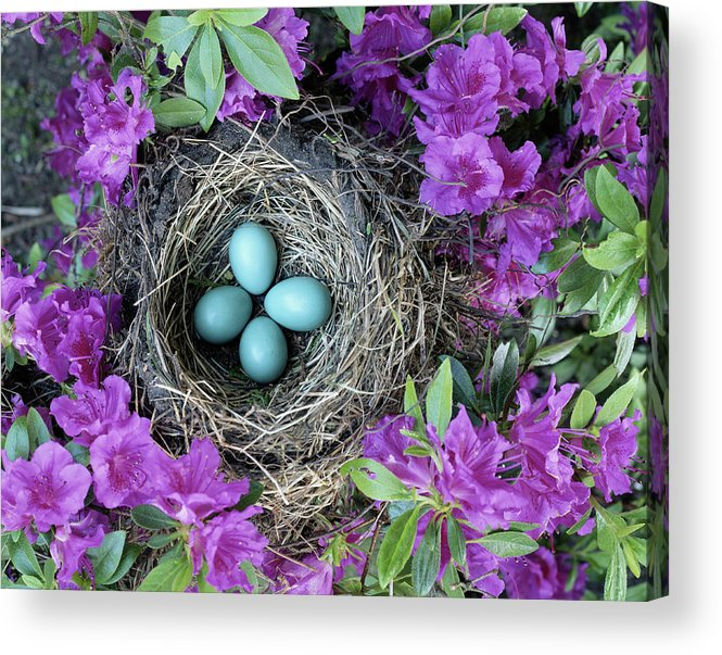 Security Acrylic Print featuring the photograph Robins Nest In Azalea Bush, Spring by Art Wolfe