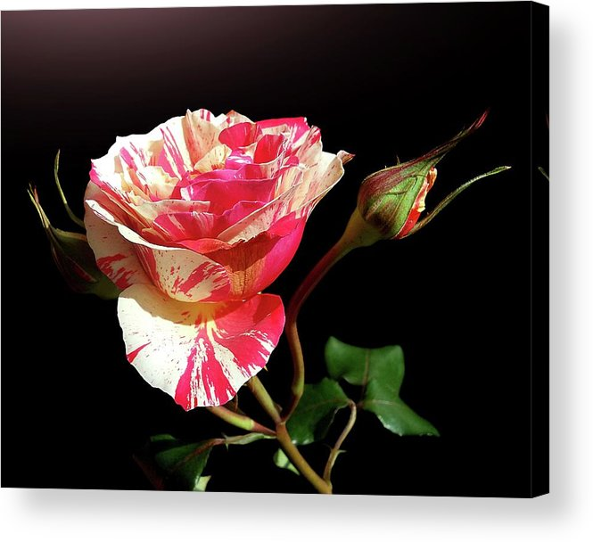 Bud Acrylic Print featuring the photograph Rose With Two Buds by Gitpix