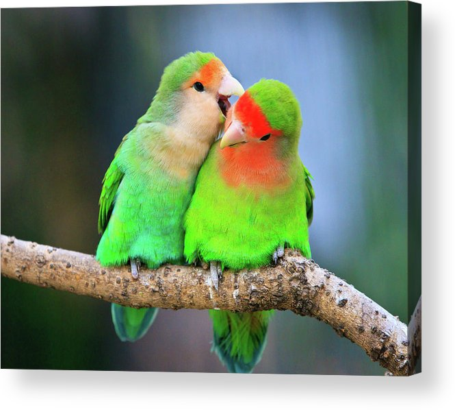 Togetherness Acrylic Print featuring the photograph Two Peace-faced Lovebird by Feng Wei Photography