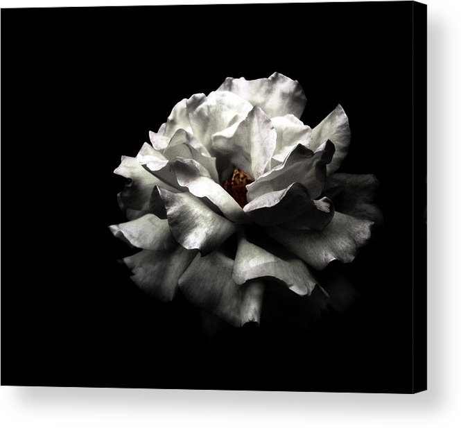 Black Background Acrylic Print featuring the photograph White Rose by Lola L. Falantes