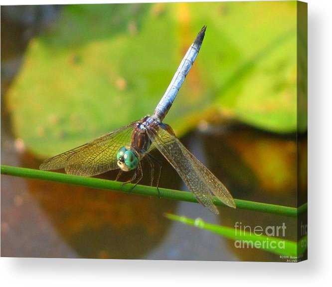 Dragonfly Acrylic Print featuring the photograph Dragonfly by Rrrose Pix