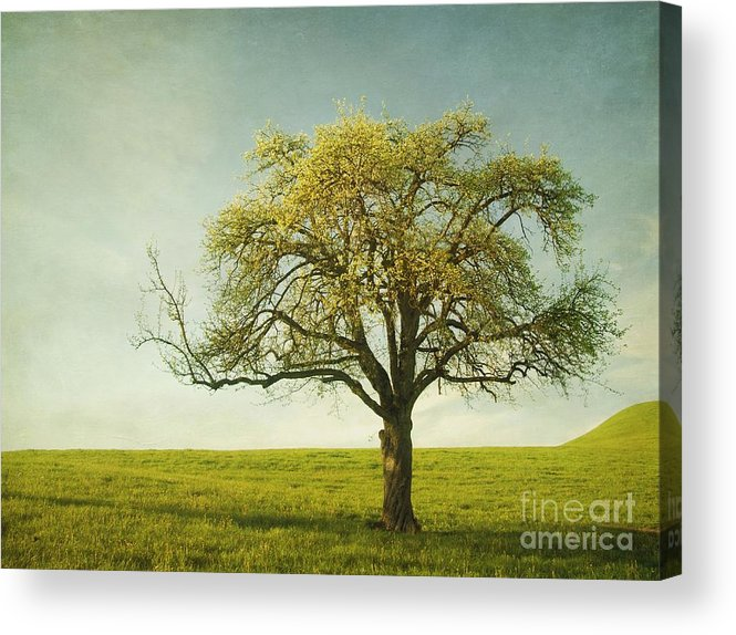 Appletree Acrylic Print featuring the photograph Appletree by Priska Wettstein