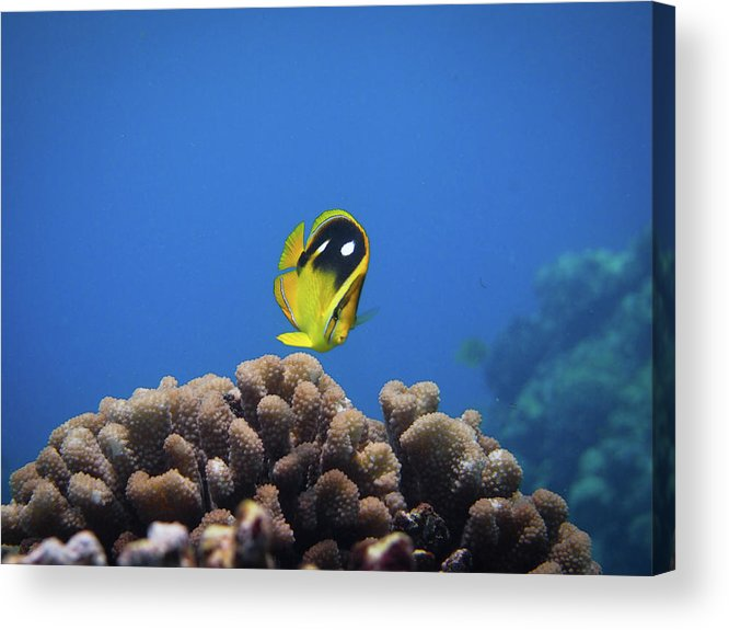 Underwater Acrylic Print featuring the photograph Four Spot Butterfly by Taiki Sakai